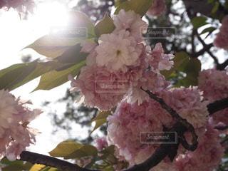 桜の写真・画像素材[631678]