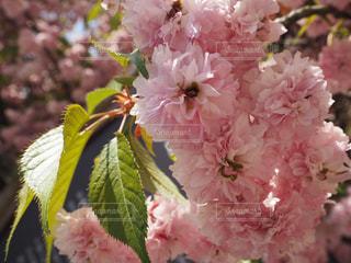 桜の写真・画像素材[631681]