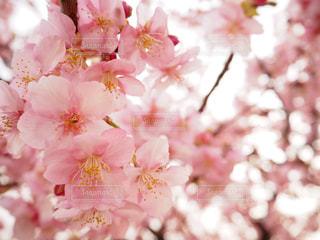 桜の写真・画像素材[1149226]