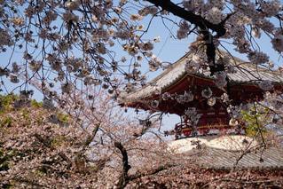 寺院と桜の写真・画像素材[1149233]