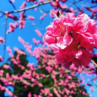 桜の写真・画像素材[634222]