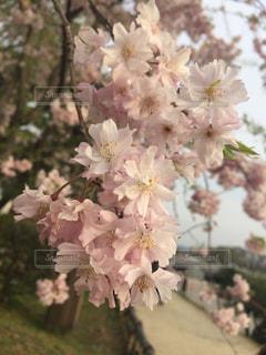 桜の写真・画像素材[901312]