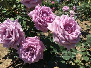 花の写真・画像素材[631102]