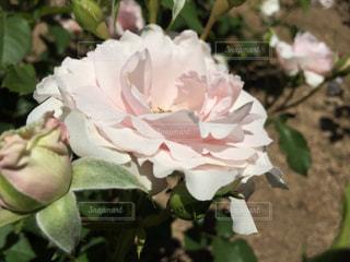 花の写真・画像素材[631104]