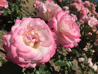 花の写真・画像素材[631106]