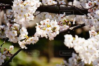 桜の写真・画像素材[1088282]