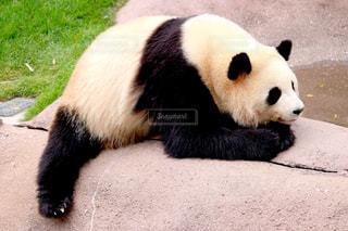 パンダの写真・画像素材[631874]