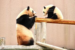 パンダの写真・画像素材[631876]
