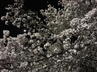 夜桜の写真・画像素材[630599]