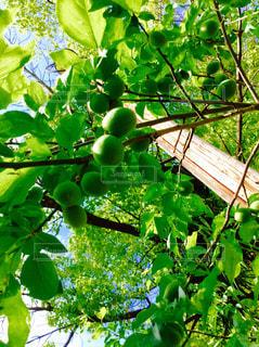 梅の写真・画像素材[631349]