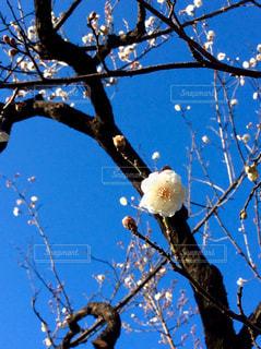 梅の写真・画像素材[631406]