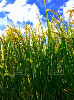 稲の写真・画像素材[760546]