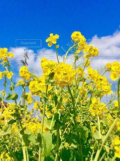 菜の花 - No.984363