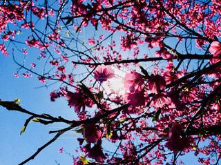 桜 - No.1013512