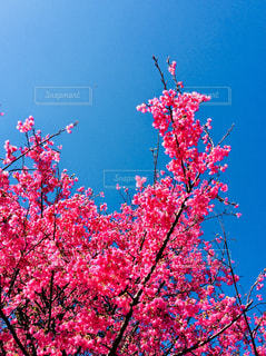 桜 - No.1013513