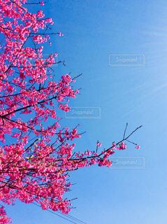 寒緋桜 - No.1013521