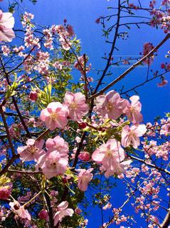 桜 - No.1013523