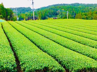 お茶畑の写真・画像素材[1065326]