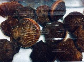 ヒオウギ貝の写真・画像素材[1088935]