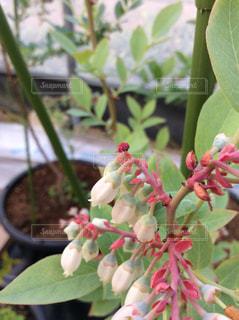 ブルーベリーの花の写真・画像素材[1109878]