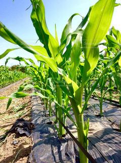 トウモロコシ畑の写真・画像素材[1109925]