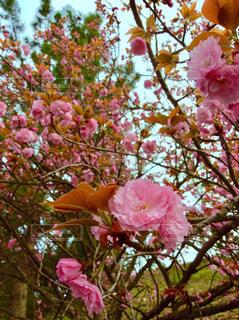 桜🌸の写真・画像素材[1110731]