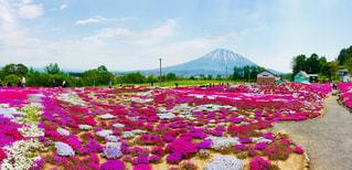三嶋さんちの芝桜の写真・画像素材[1221130]
