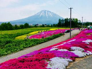 三嶋さんちの芝桜の写真・画像素材[1221131]