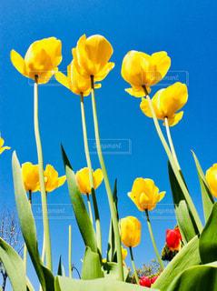 黄色いチューリップ🌷の写真・画像素材[1221241]