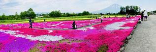 三嶋さんちの芝桜の写真・画像素材[1254767]
