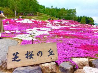 三嶋さんちの芝桜の写真・画像素材[1254769]