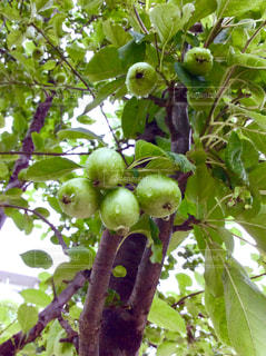 姫リンゴの写真・画像素材[1294036]