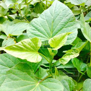 紅芋の葉の写真・画像素材[1574993]