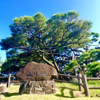 五枝の松の写真・画像素材[1575121]