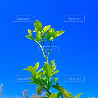 シークワーサーの木の写真・画像素材[1612228]