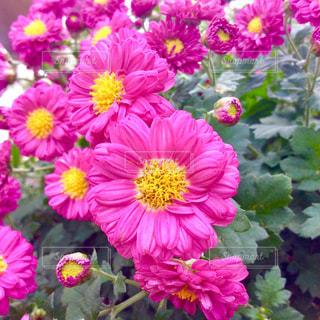 ピンクの菊の写真・画像素材[1718145]