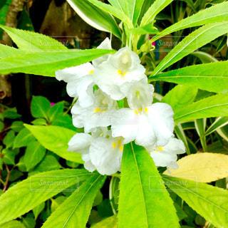 鳳仙花の写真・画像素材[1769721]
