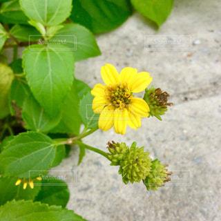 緑の葉と黄色の花の写真・画像素材[1771446]
