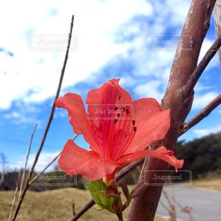 久米島ツツジの写真・画像素材[1787974]