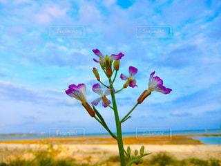 ハマダイコンの花の写真・画像素材[1821024]