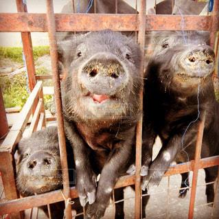 3匹の子豚🐖の写真・画像素材[1854861]