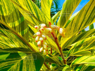 黄斑月桃の花の写真・画像素材[2070183]