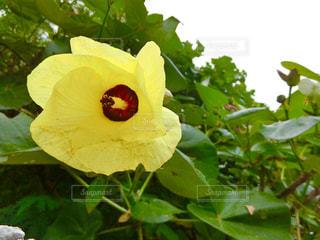 ゆうなの花の写真・画像素材[2201674]