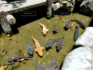 鯉の写真・画像素材[2264240]