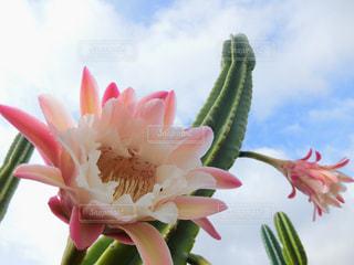 サボテンのピンクの花の写真・画像素材[2301585]