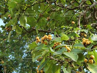 木の実の写真・画像素材[2323275]