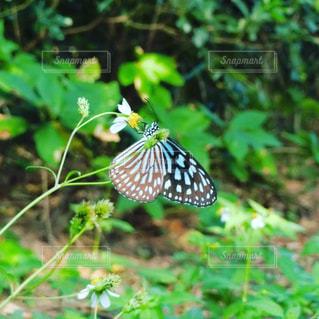 チョウの写真・画像素材[2735344]