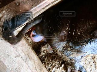 牛の出産の写真・画像素材[2803602]