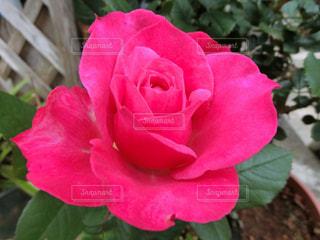 ピンクの薔薇の写真・画像素材[3094902]