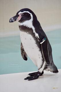雪の中のペンギン - No.775975